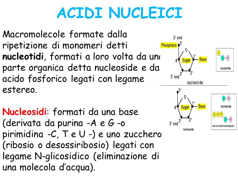 ACIDI NUCLEICI Macromolecole formate dalla ripetizione di monomeri detti nucleotidi, formati a loro volta da una parte organica detta nucleoside e da