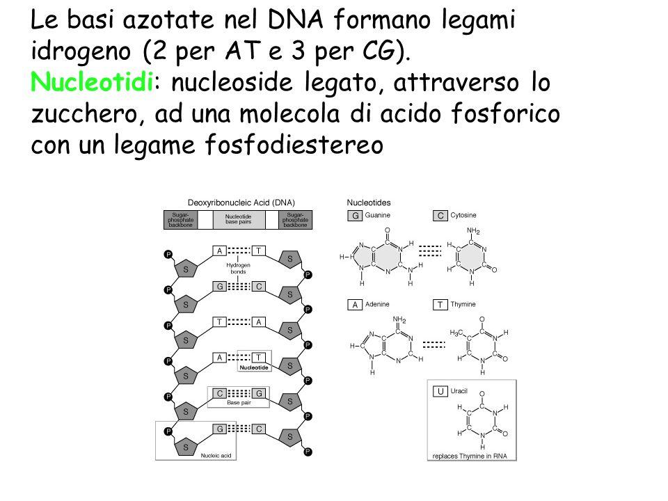 Le basi azotate nel DNA formano legami idrogeno (2 per AT e 3 per CG). Nucleotidi: nucleoside legato, attraverso lo zucchero, ad una molecola di acido