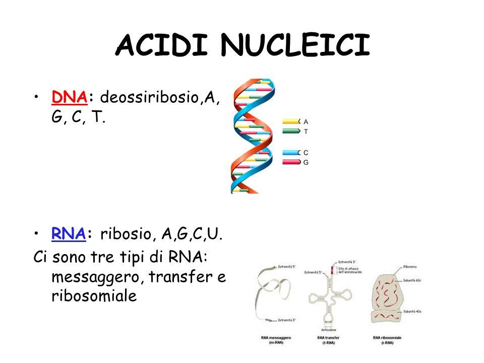 ACIDI NUCLEICI DNA: deossiribosio,A, G, C, T. RNA: ribosio, A,G,C,U. Ci sono tre tipi di RNA: messaggero, transfer e ribosomiale