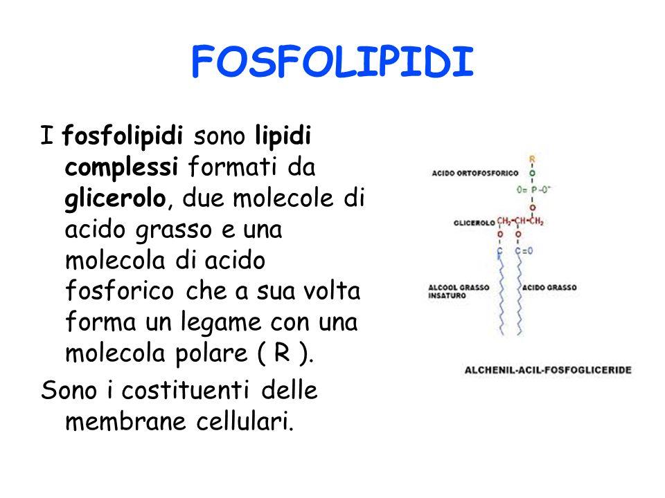 FOSFOLIPIDI I fosfolipidi sono lipidi complessi formati da glicerolo, due molecole di acido grasso e una molecola di acido fosforico che a sua volta f