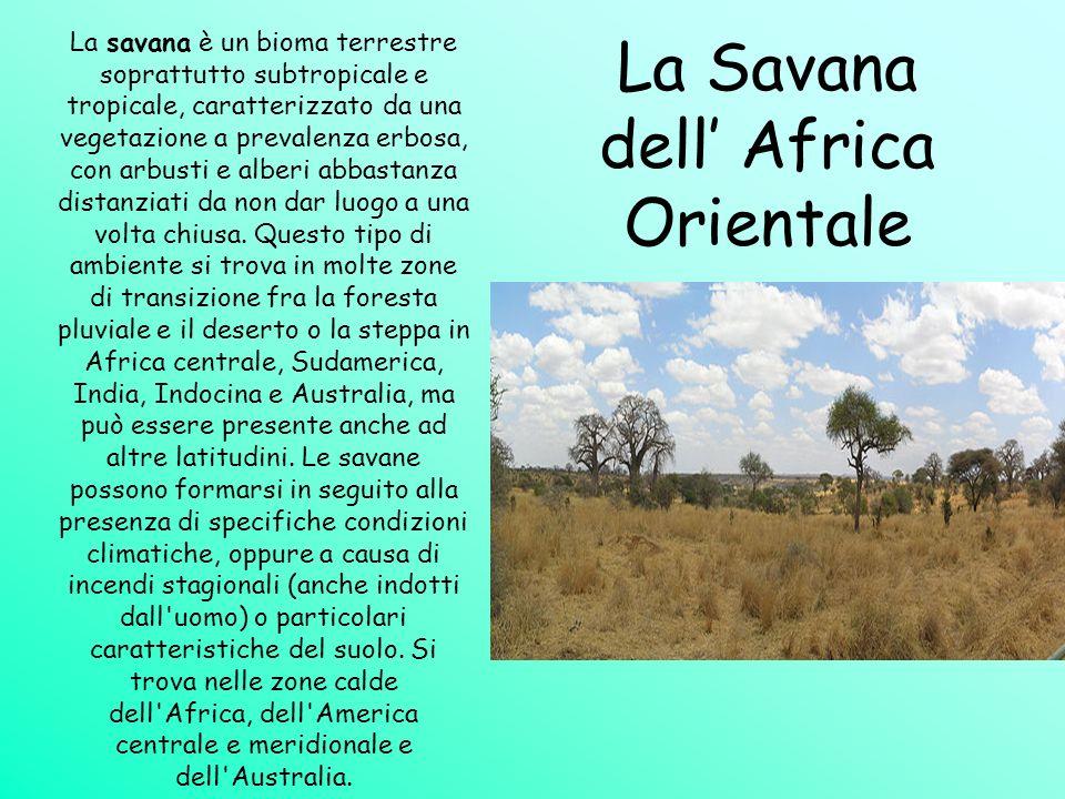 La Savana dell Africa Orientale La savana è un bioma terrestre soprattutto subtropicale e tropicale, caratterizzato da una vegetazione a prevalenza er