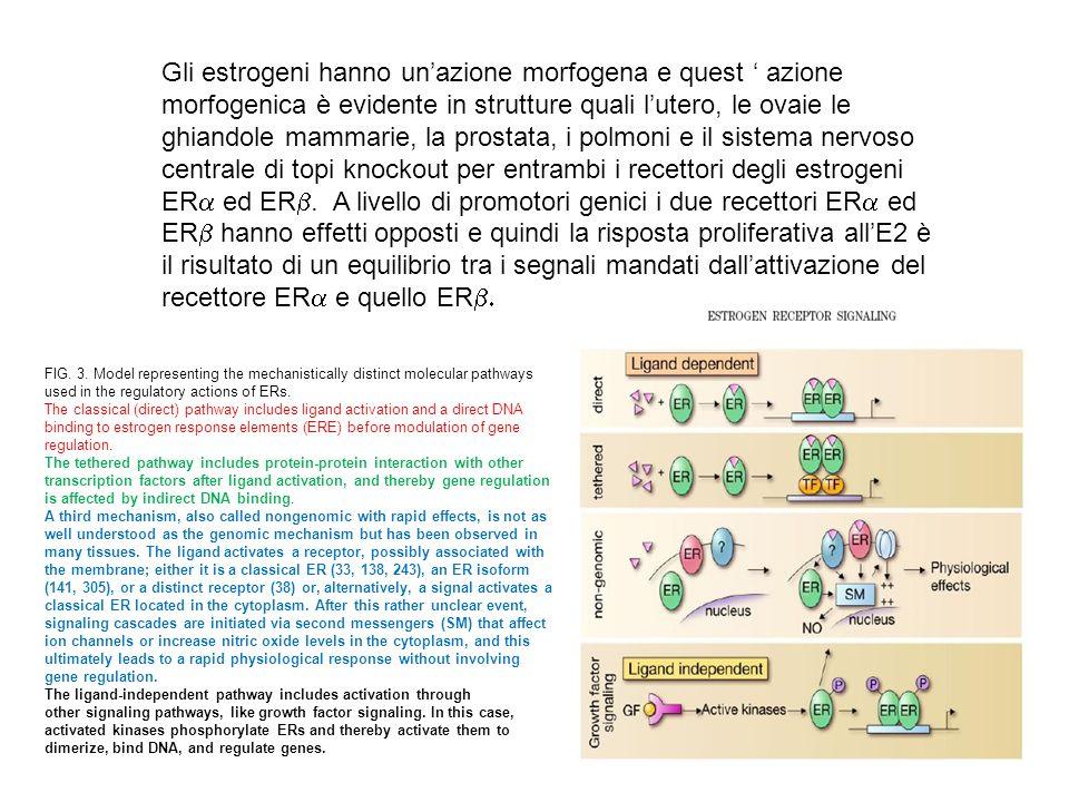 Gli estrogeni hanno unazione morfogena e quest azione morfogenica è evidente in strutture quali lutero, le ovaie le ghiandole mammarie, la prostata, i polmoni e il sistema nervoso centrale di topi knockout per entrambi i recettori degli estrogeni ER ed ER.