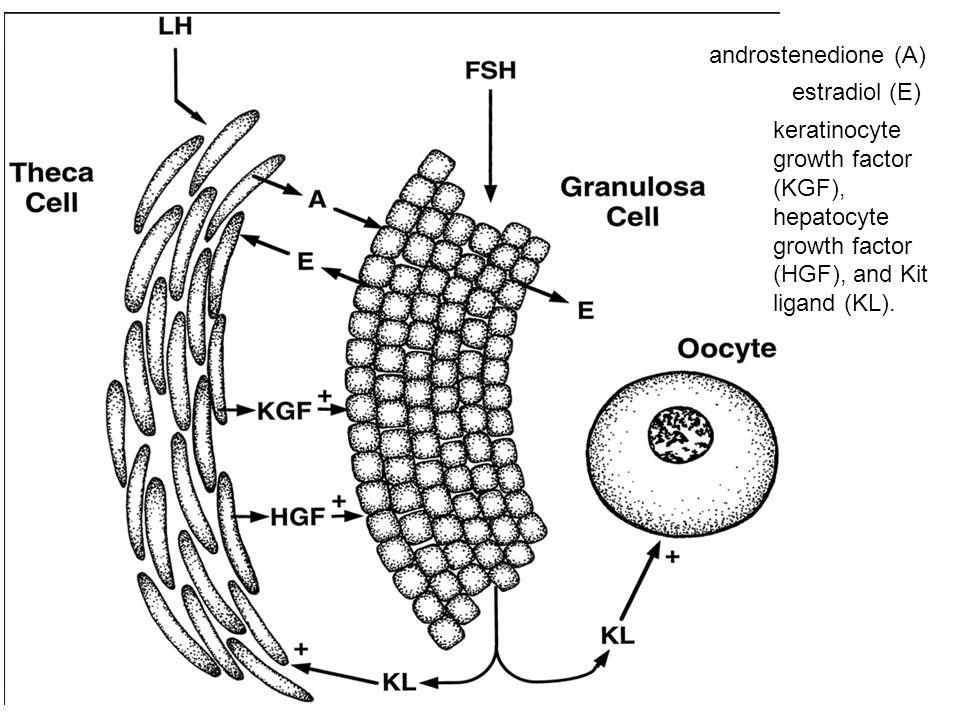 I modulatori selettivi dei recettori degli estrogeni (SERMs), quali il toremifene, droloxifene and idoxifene) erano basati sulla struttura del tamoxifene.