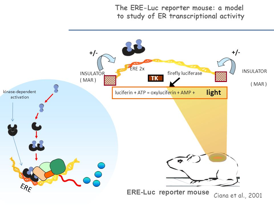 ERE-Luc mouse MDP E Estradiol ( pg /ml) 10 2 0 3 0 4 0 5 0 day 1day 2day3day 4 S ESTRUS E 2 (pg/ml) 10 20 30 40 50 MDPE Luciferase activity in adult, cycling females Ciana et al, Nature Ned., 2003