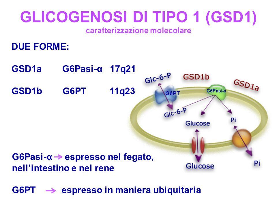 GLICOGENOSI DI TIPO 1 (GSD1) caratterizzazione molecolare G6Pasi-α espresso nel fegato, nellintestino e nel rene G6PT espresso in maniera ubiquitaria DUE FORME: GSD1a G6Pasi-α 17q21 GSD1b G6PT 11q23 G6Pasi-α G6PT