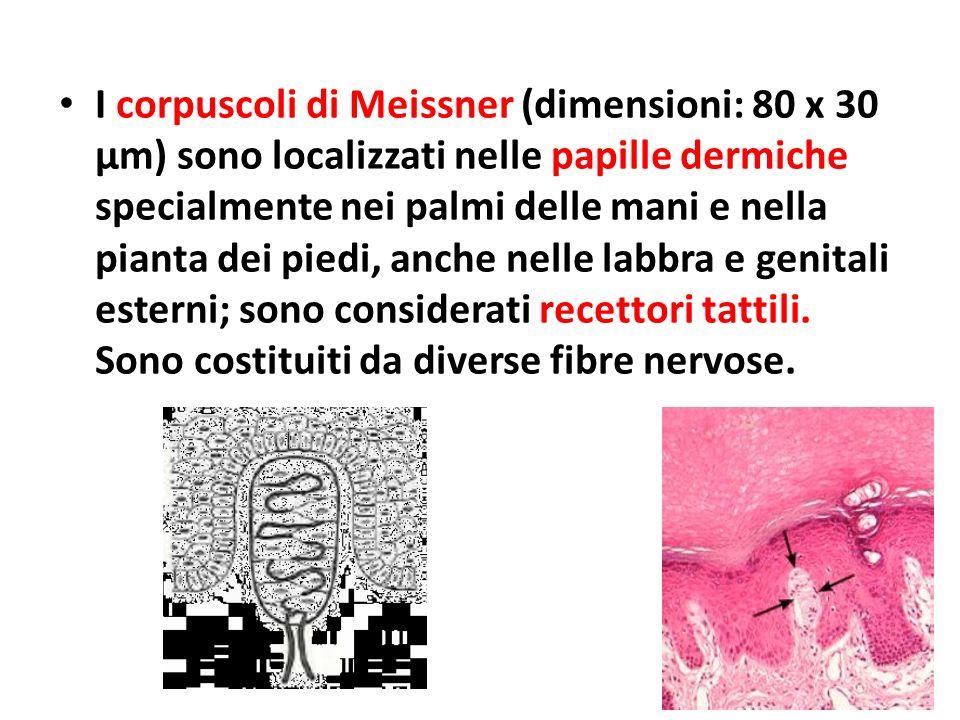 I corpuscoli di Meissner (dimensioni: 80 x 30 μm) sono localizzati nelle papille dermiche specialmente nei palmi delle mani e nella pianta dei piedi,