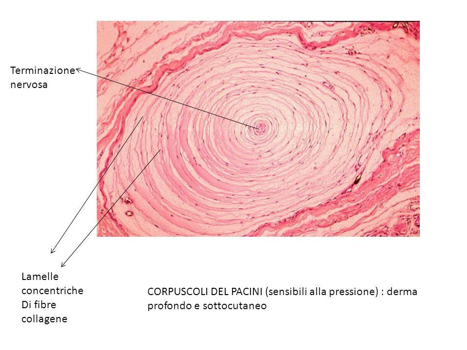 CORPUSCOLI DEL PACINI (sensibili alla pressione) : derma profondo e sottocutaneo Lamelle concentriche Di fibre collagene Terminazione nervosa