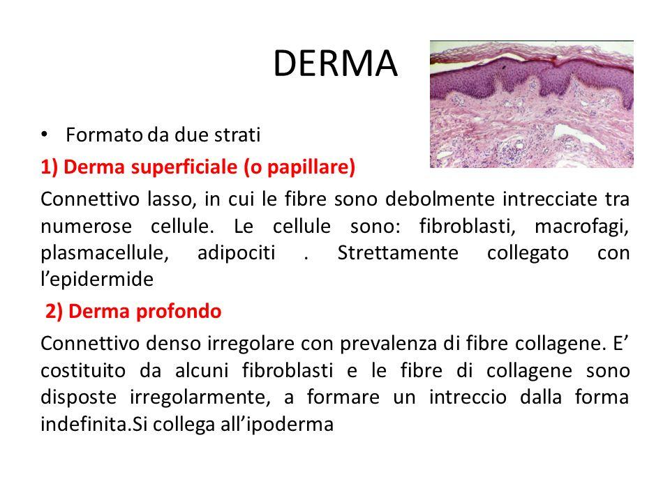 DERMA Formato da due strati 1) Derma superficiale (o papillare) Connettivo lasso, in cui le fibre sono debolmente intrecciate tra numerose cellule. Le