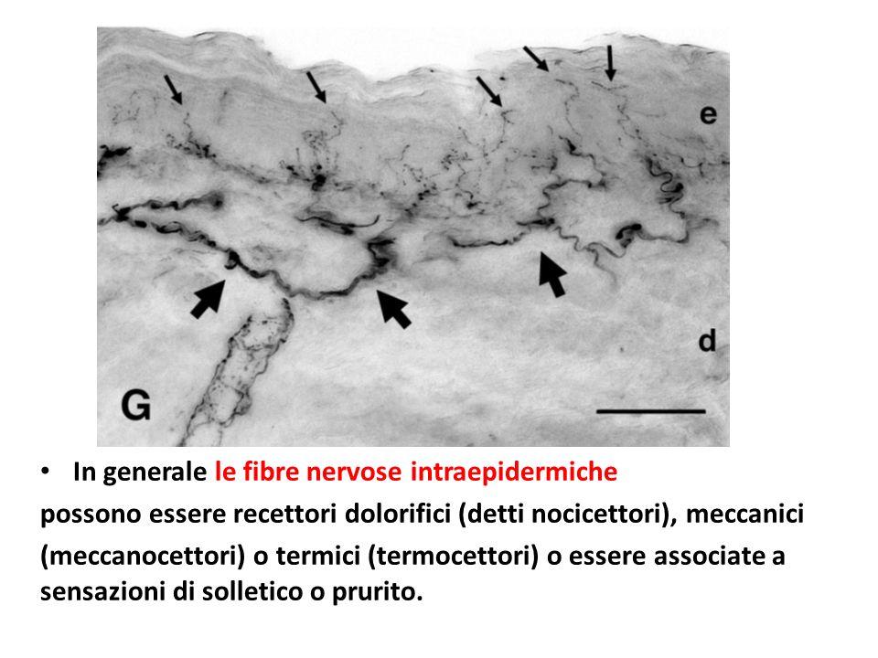 In generale le fibre nervose intraepidermiche possono essere recettori dolorifici (detti nocicettori), meccanici (meccanocettori) o termici (termocett