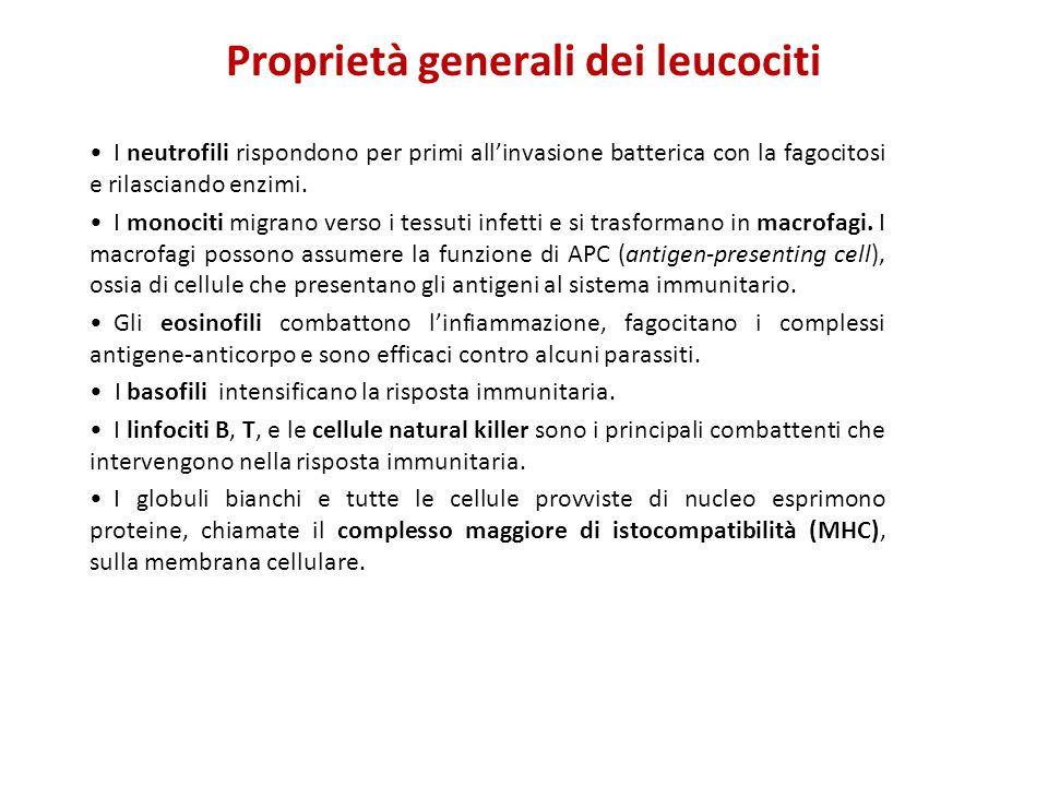 Proprietà generali dei leucociti I neutrofili rispondono per primi allinvasione batterica con la fagocitosi e rilasciando enzimi. I monociti migrano v
