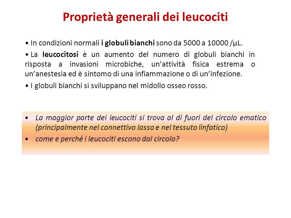 Proprietà generali dei leucociti In condizioni normali i globuli bianchi sono da 5000 a 10000 /μL. La leucocitosi è un aumento del numero di globuli b