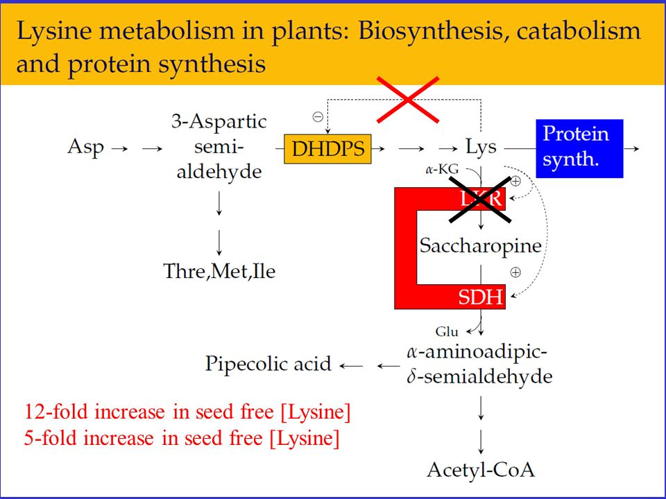 12-fold increase in seed free [Lysine] 5-fold increase in seed free [Lysine]