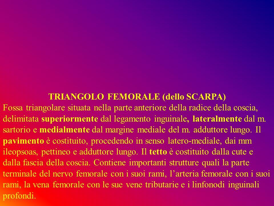 TRIANGOLO FEMORALE (dello SCARPA) Fossa triangolare situata nella parte anteriore della radice della coscia, delimitata superiormente dal legamento inguinale, lateralmente dal m.