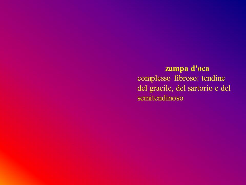 zampa d'oca complesso fibroso: tendine del gracile, del sartorio e del semitendinoso