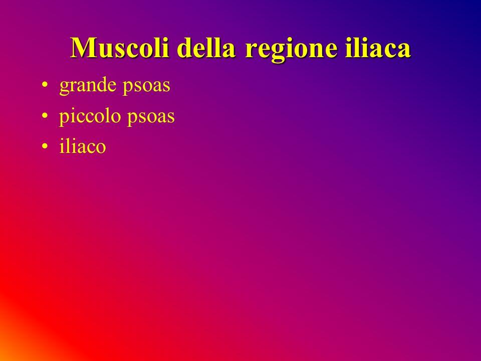 Muscoli della regione iliaca grande psoas piccolo psoas iliaco