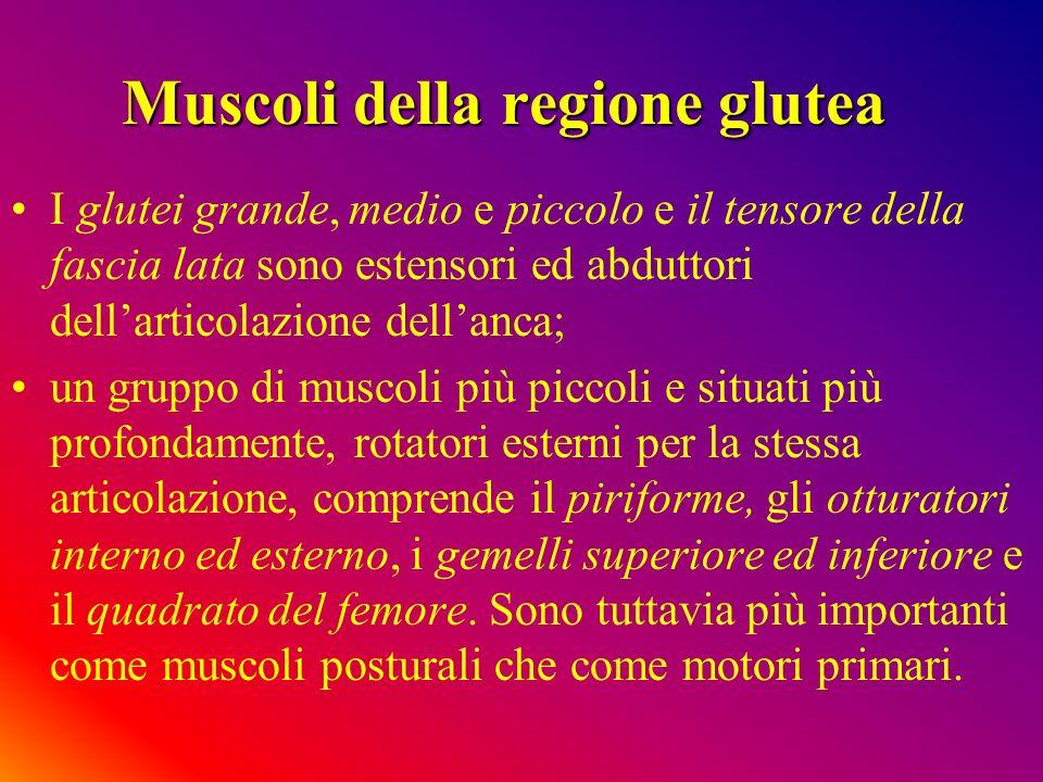Muscoli della regione glutea I glutei grande, medio e piccolo e il tensore della fascia lata sono estensori ed abduttori dellarticolazione dellanca; u