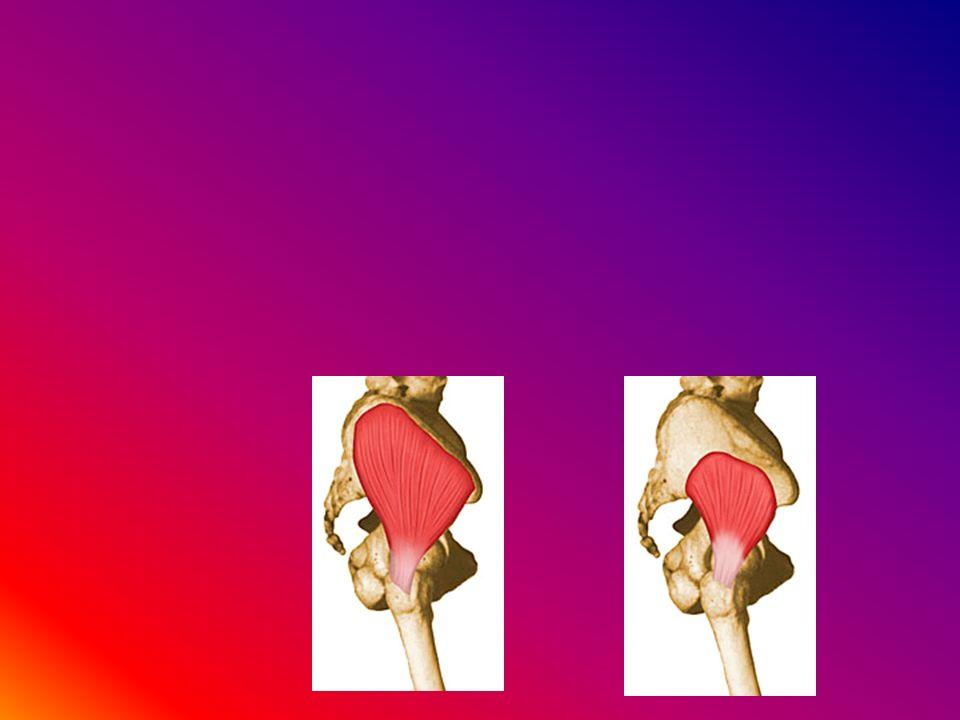 Tibialis anterior Estensore lungo delle dita