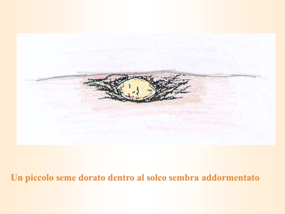 Un piccolo seme dorato dentro al solco sembra addormentato