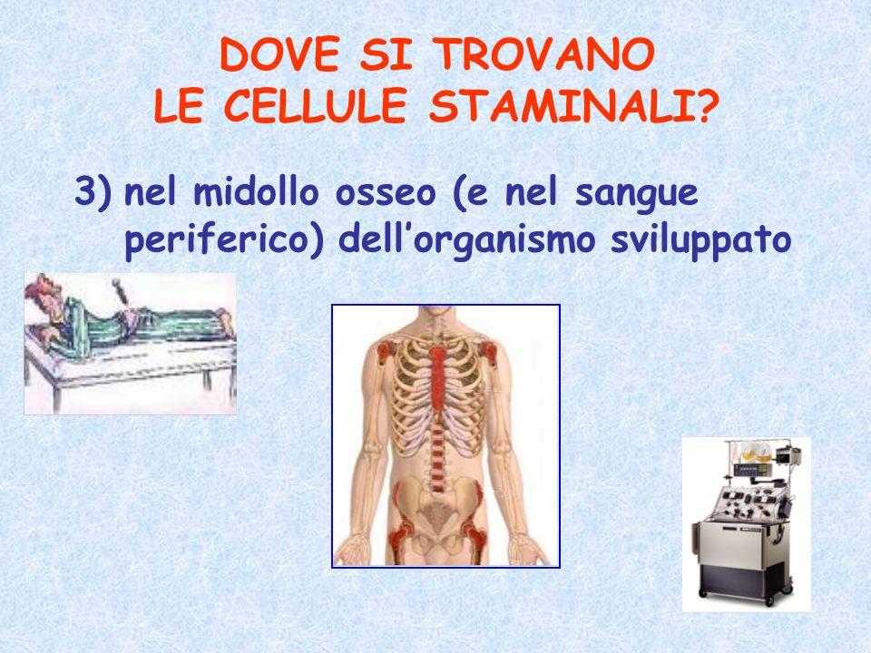 DOVE SI TROVANO LE CELLULE STAMINALI? 3)nel midollo osseo (e nel sangue periferico) dellorganismo sviluppato