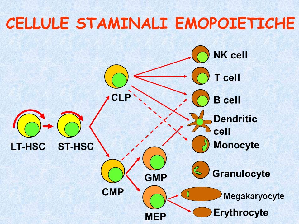LT-HSCST-HSC CLP CMP GMP MEP NK cell T cell B cell Dendritic cell Monocyte Granulocyte Megakaryocyte Erythrocyte CELLULE STAMINALI EMOPOIETICHE