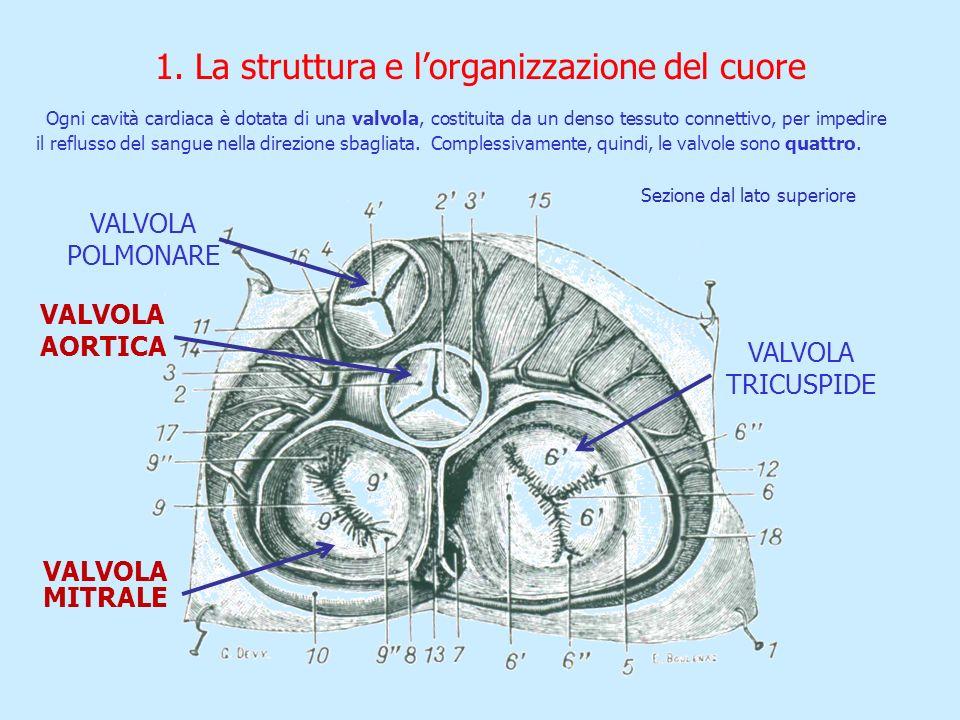 VALVOLA TRICUSPIDE VALVOLA POLMONARE VALVOLA AORTICA VALVOLA MITRALE 1. La struttura e lorganizzazione del cuore Ogni cavità cardiaca è dotata di una