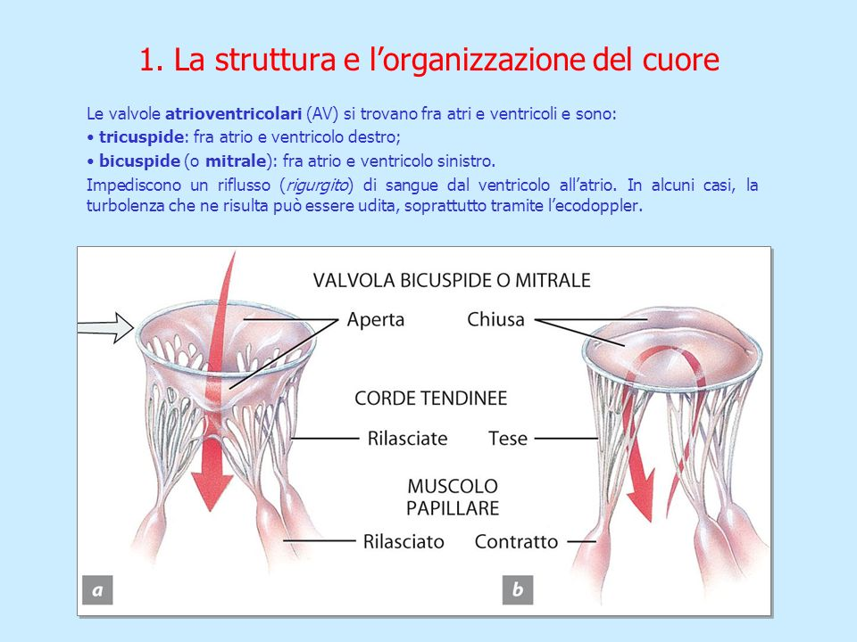 1. La struttura e lorganizzazione del cuore Le valvole atrioventricolari (AV) si trovano fra atri e ventricoli e sono: tricuspide: fra atrio e ventric
