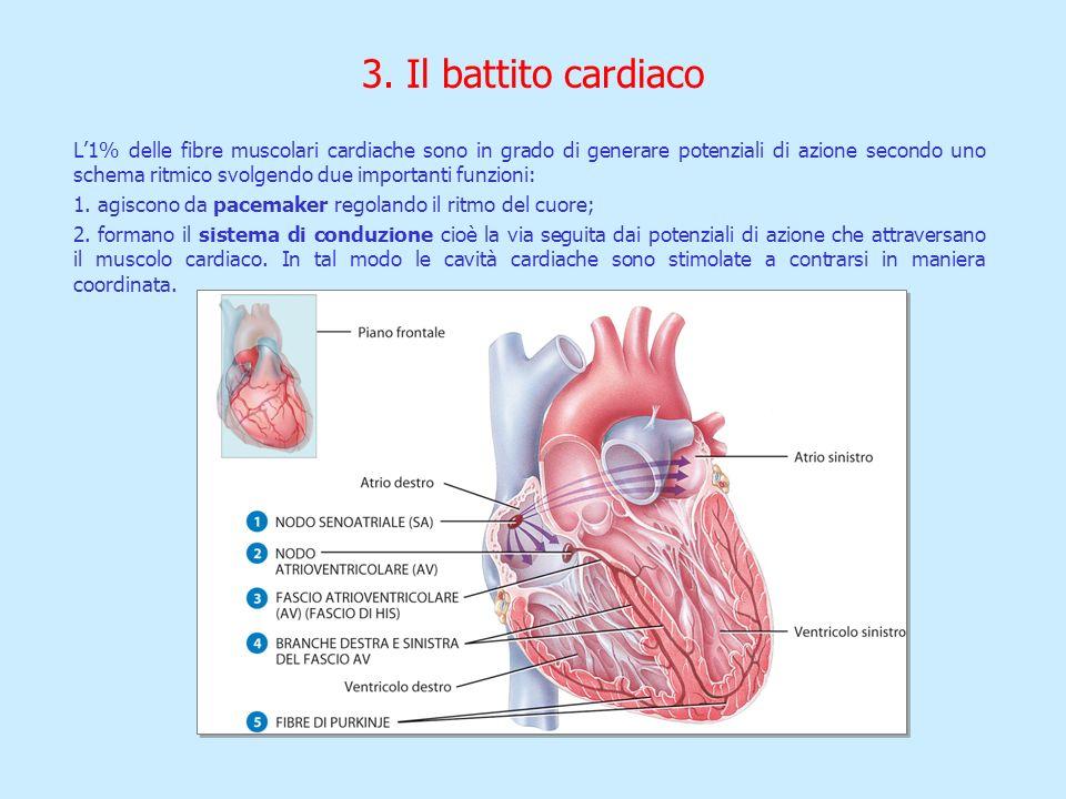 3. Il battito cardiaco L1% delle fibre muscolari cardiache sono in grado di generare potenziali di azione secondo uno schema ritmico svolgendo due imp