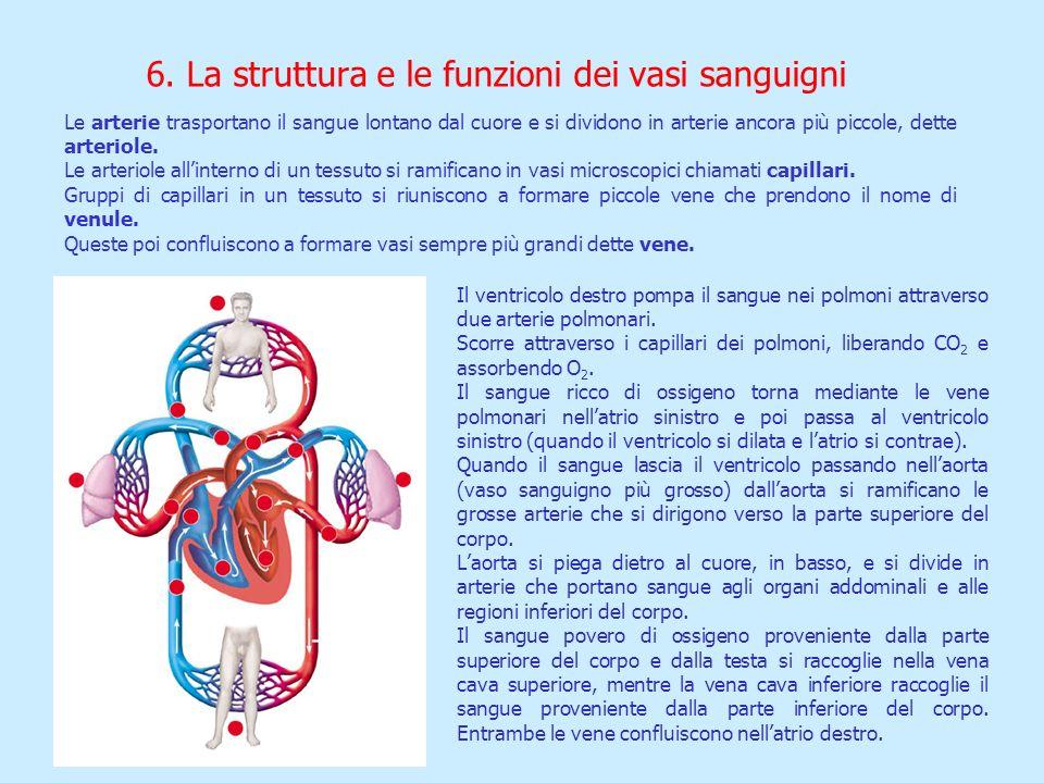 Le arterie trasportano il sangue lontano dal cuore e si dividono in arterie ancora più piccole, dette arteriole. Le arteriole allinterno di un tessuto