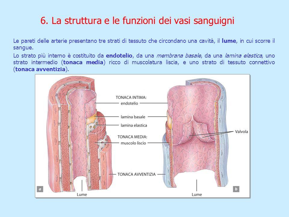 Le pareti delle arterie presentano tre strati di tessuto che circondano una cavità, il lume, in cui scorre il sangue. Lo strato più interno è costitui
