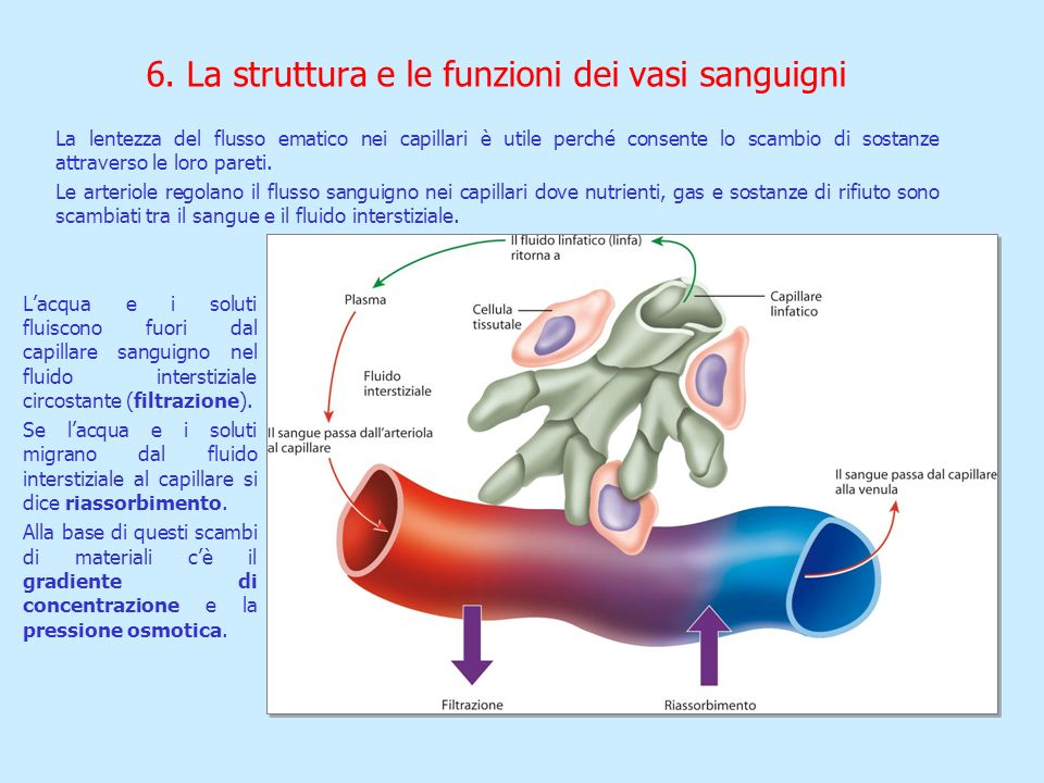 La lentezza del flusso ematico nei capillari è utile perché consente lo scambio di sostanze attraverso le loro pareti. Le arteriole regolano il flusso