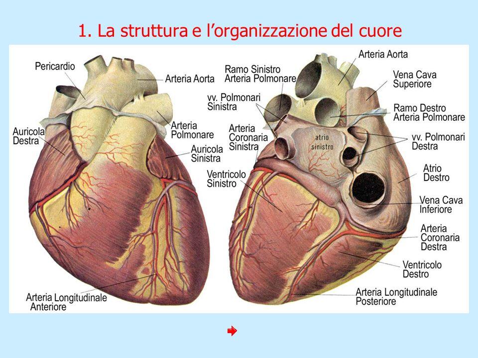1. La struttura e lorganizzazione del cuore