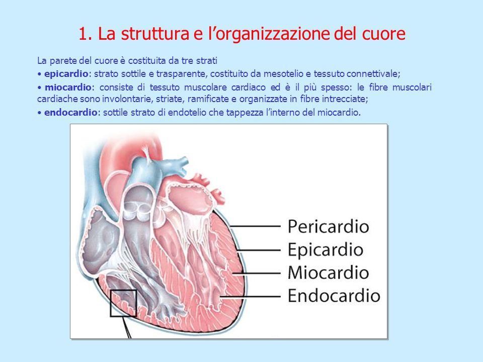 La parete del cuore è costituita da tre strati epicardio: strato sottile e trasparente, costituito da mesotelio e tessuto connettivale; miocardio: con