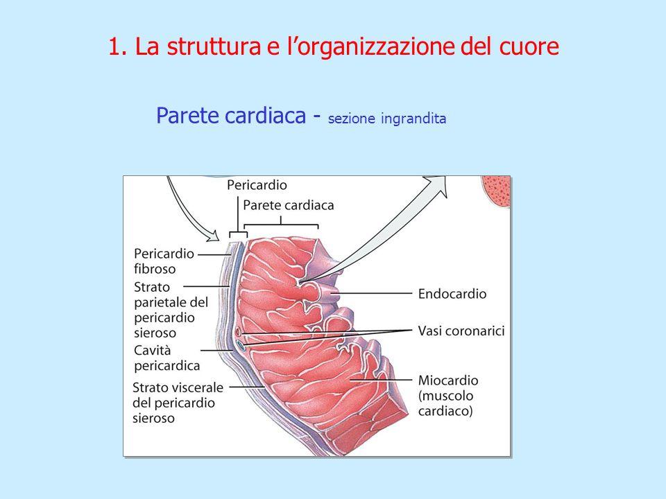1. La struttura e lorganizzazione del cuore Parete cardiaca - sezione ingrandita