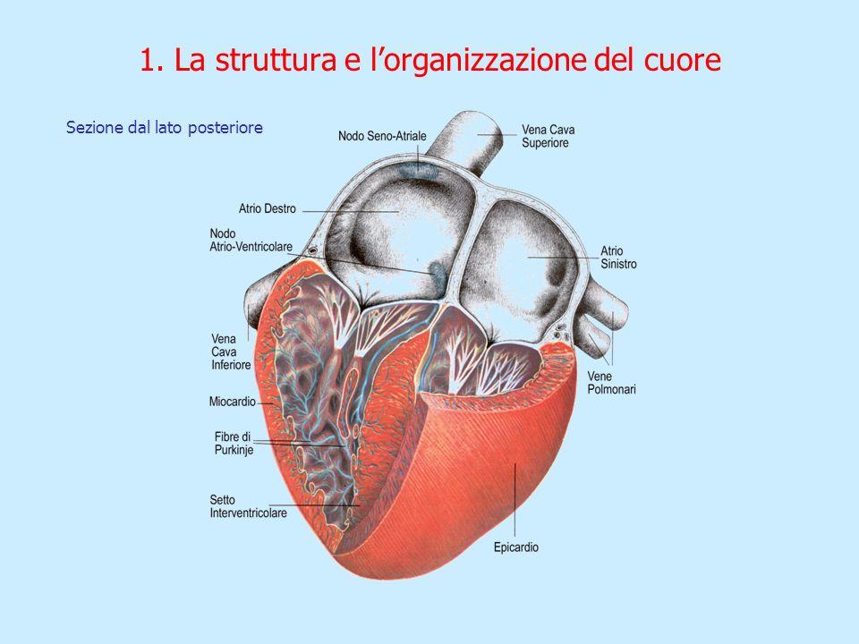 1. La struttura e lorganizzazione del cuore Sezione dal lato posteriore