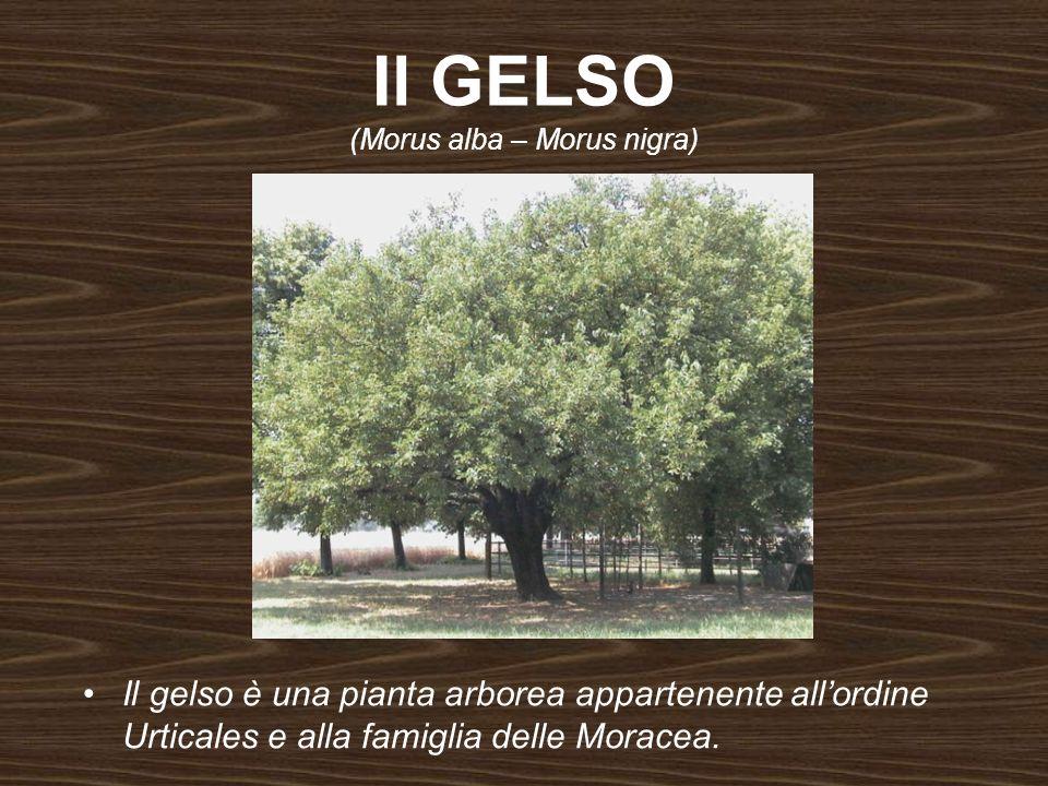 Il GELSO (Morus alba – Morus nigra) Il gelso è una pianta arborea appartenente allordine Urticales e alla famiglia delle Moracea.