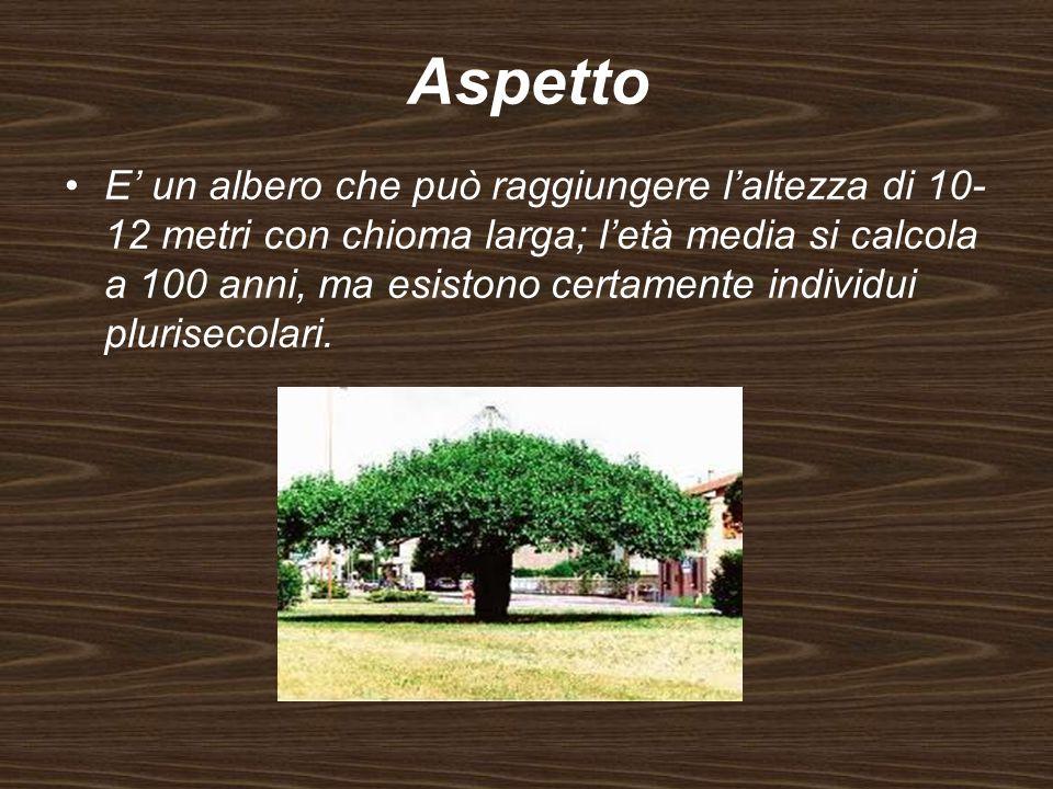Aspetto E un albero che può raggiungere laltezza di 10- 12 metri con chioma larga; letà media si calcola a 100 anni, ma esistono certamente individui