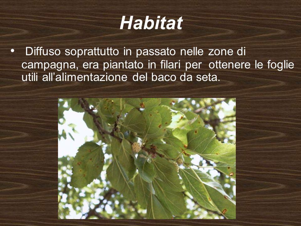 Habitat Diffuso soprattutto in passato nelle zone di campagna, era piantato in filari per ottenere le foglie utili allalimentazione del baco da seta.