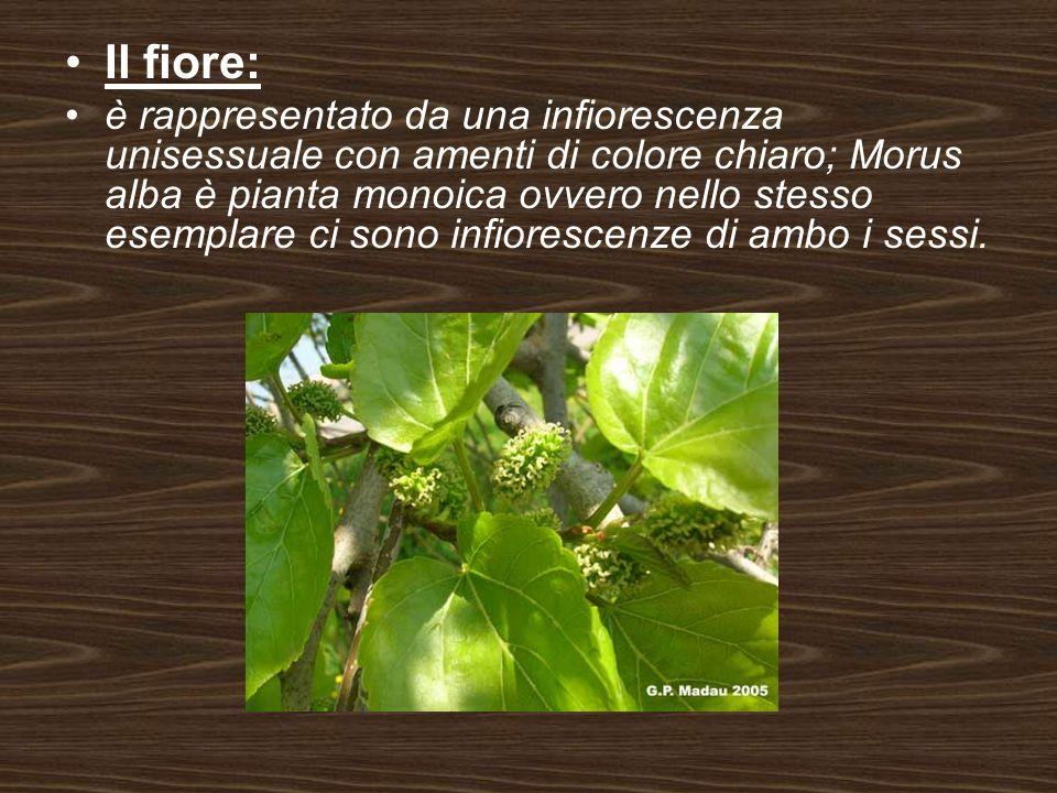 Il fiore: è rappresentato da una infiorescenza unisessuale con amenti di colore chiaro; Morus alba è pianta monoica ovvero nello stesso esemplare ci s