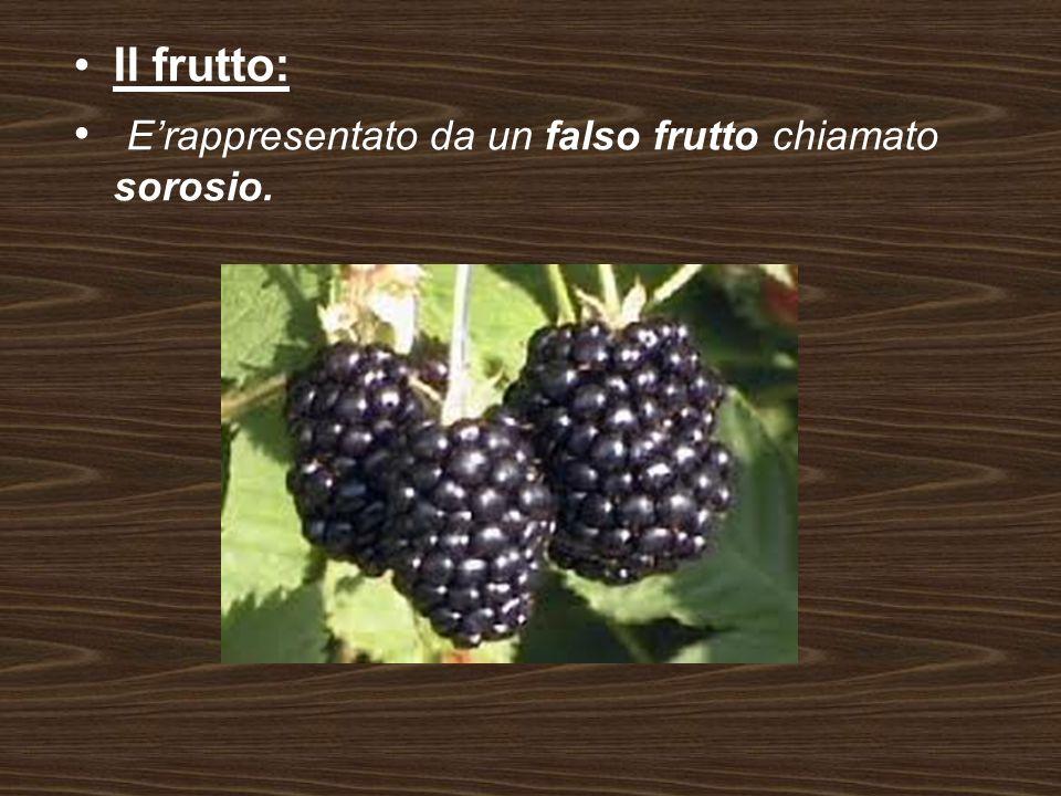 Il frutto: Erappresentato da un falso frutto chiamato sorosio.