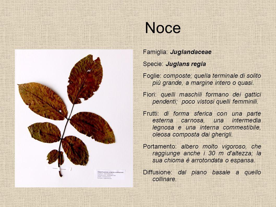 Noce Famiglia: Juglandaceae Specie: Juglans regia Foglie: composte; quella terminale di solito più grande, a margine intero o quasi. Fiori: quelli mas