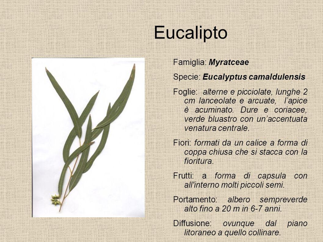 Eucalipto Famiglia: Myratceae Specie: Eucalyptus camaldulensis Foglie: alterne e picciolate, lunghe 2 cm lanceolate e arcuate, lapice è acuminato. Dur