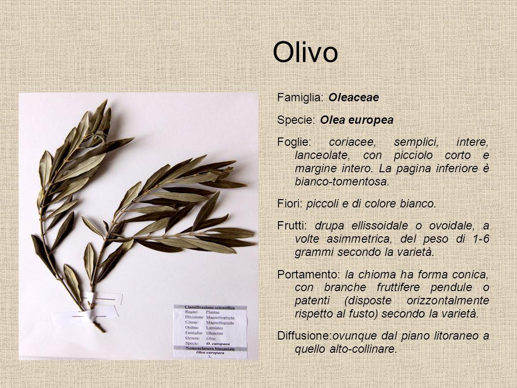 Olivo Famiglia: Oleaceae Specie: Olea europea Foglie: coriacee, semplici, intere, lanceolate, con picciolo corto e margine intero. La pagina inferiore