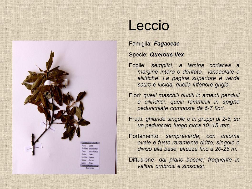 Leccio Famiglia: Fagaceae Specie: Quercus ilex Foglie: semplici, a lamina coriacea a margine intero o dentato, lanceolate o ellittiche. La pagina supe