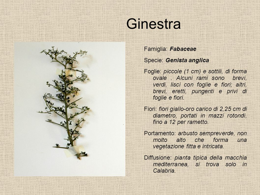 Ginestra Famiglia: Fabaceae Specie: Genista anglica Foglie: piccole (1 cm) e sottili, di forma ovale. Alcuni rami sono brevi, verdi, lisci con foglie