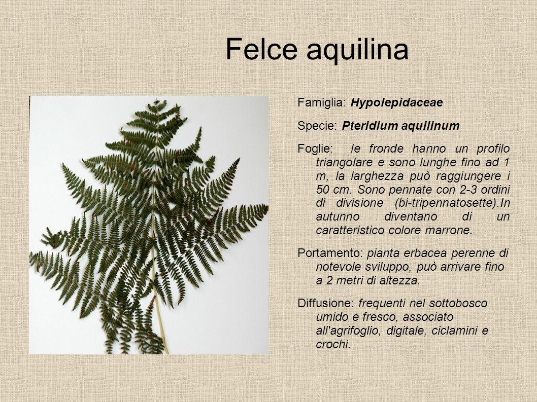 Felce aquilina Famiglia: Hypolepidaceae Specie: Pteridium aquilinum Foglie: le fronde hanno un profilo triangolare e sono lunghe fino ad 1 m, la largh