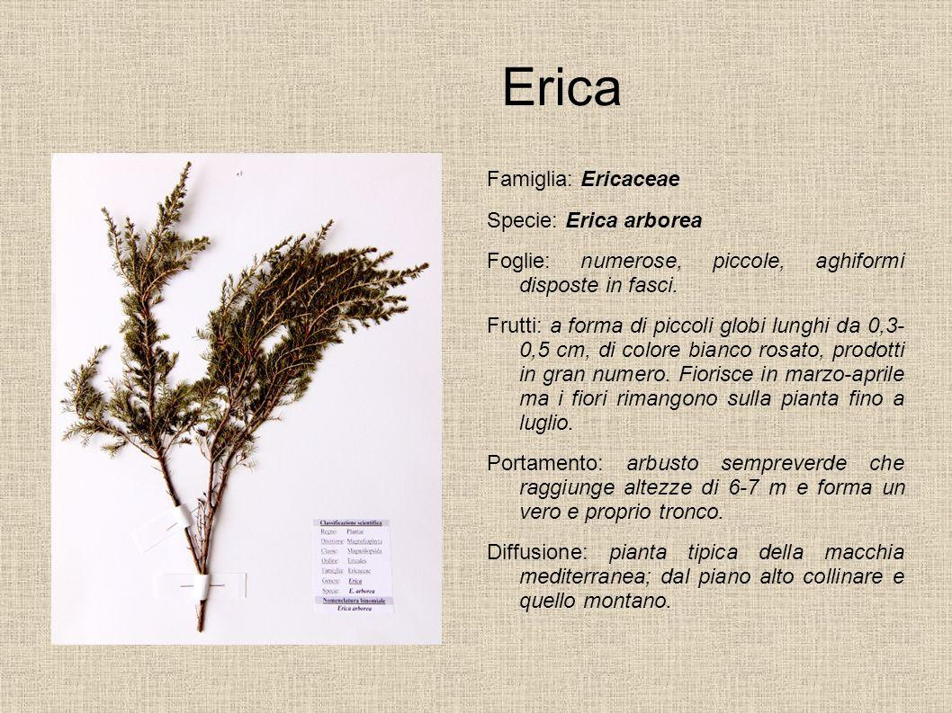 Erica Famiglia: Ericaceae Specie: Erica arborea Foglie: numerose, piccole, aghiformi disposte in fasci. Frutti: a forma di piccoli globi lunghi da 0,3