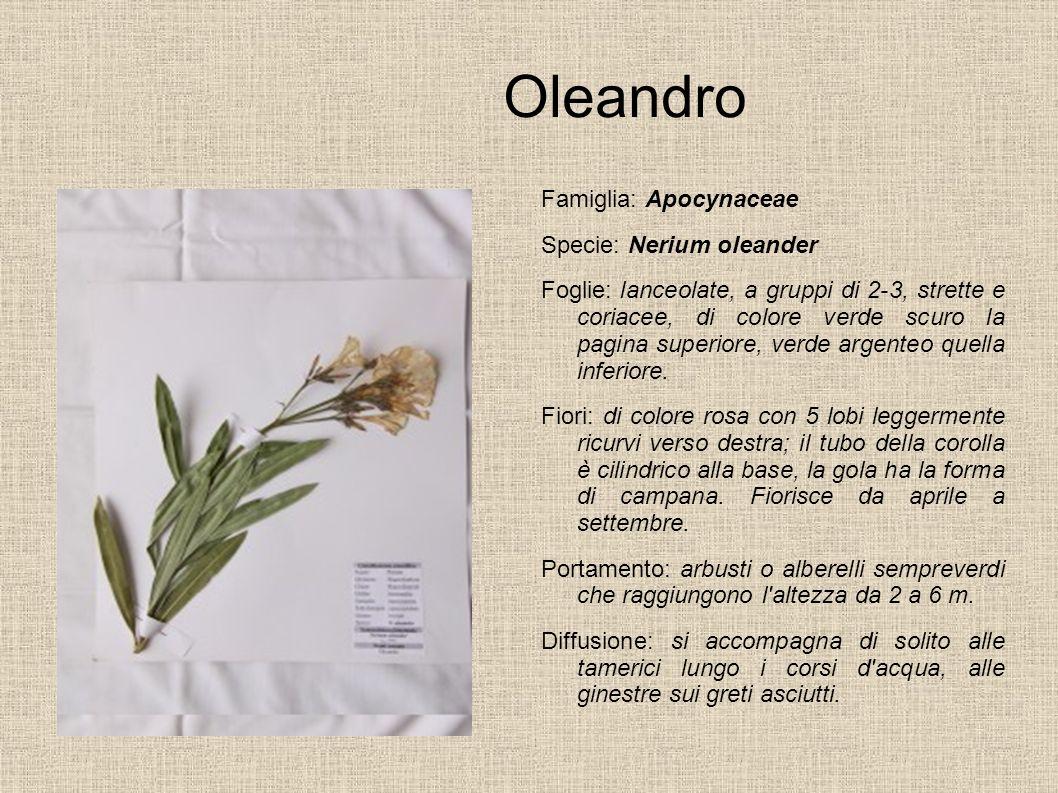 Oleandro Famiglia: Apocynaceae Specie: Nerium oleander Foglie: lanceolate, a gruppi di 2-3, strette e coriacee, di colore verde scuro la pagina superi