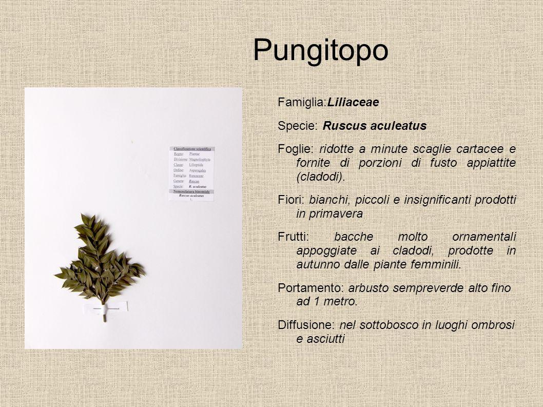 Pungitopo Famiglia:Liliaceae Specie: Ruscus aculeatus Foglie: ridotte a minute scaglie cartacee e fornite di porzioni di fusto appiattite (cladodi). F