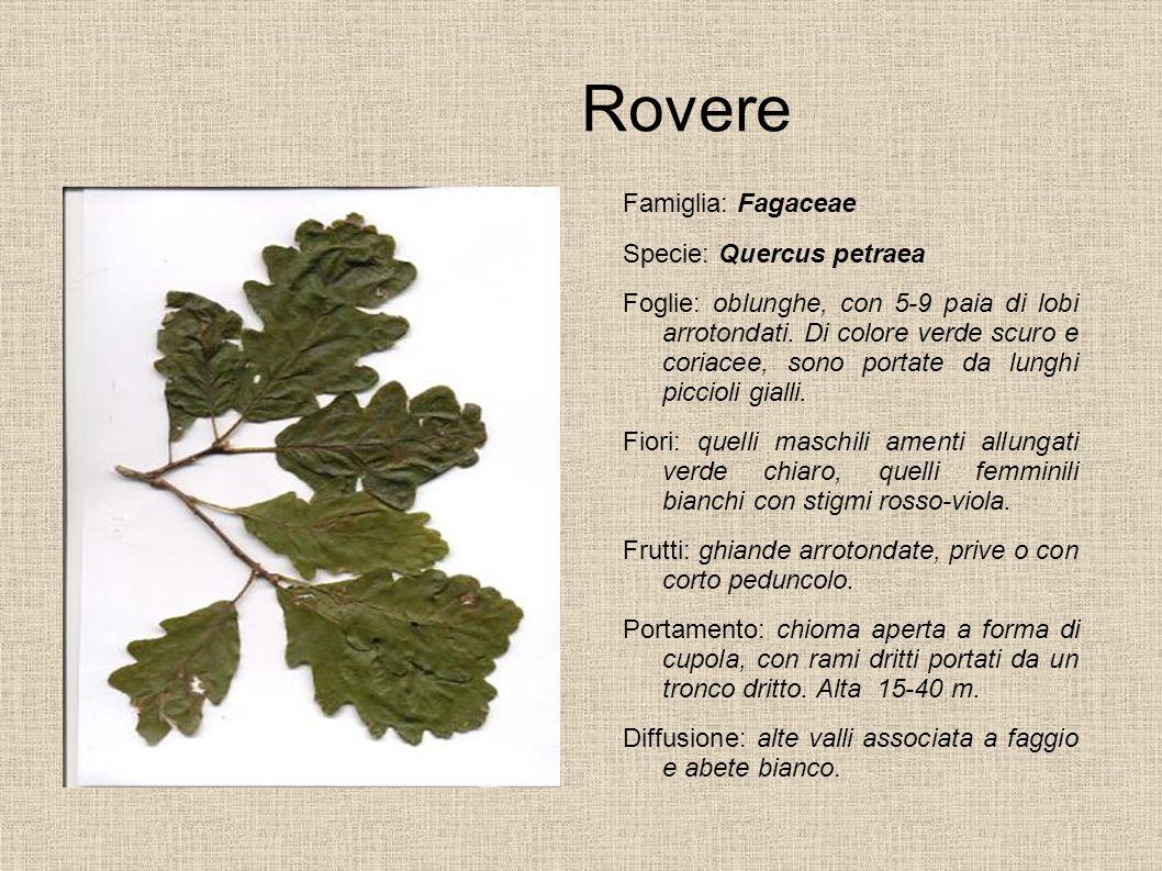 Rovere Famiglia: Fagaceae Specie: Quercus petraea Foglie: oblunghe, con 5-9 paia di lobi arrotondati. Di colore verde scuro e coriacee, sono portate d