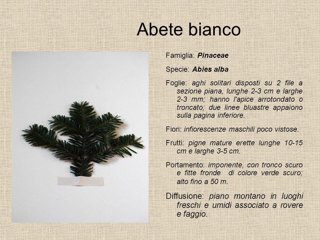 Abete bianco Famiglia: Pinaceae Specie: Abies alba Foglie: aghi solitari disposti su 2 file a sezione piana, lunghe 2-3 cm e larghe 2-3 mm; hanno l'ap